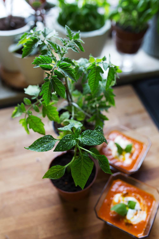 Sadzonka papryki i pomidora oraz krem z pomidorów